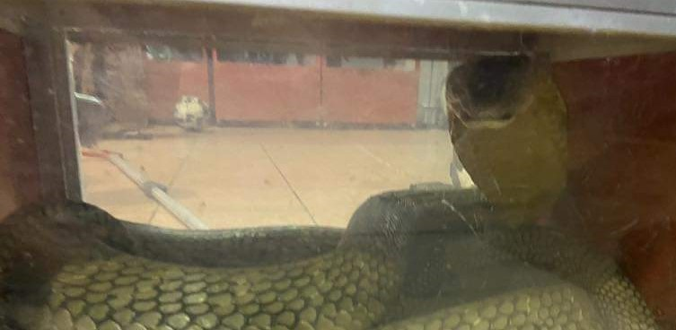 Bomba tangkap ular tedung 20kg menyusur masuk rumah